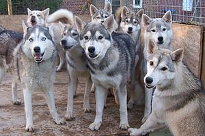 Husky-Abenteuer im ErlebnisWald Trappenkamp