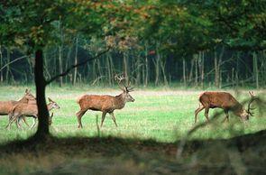 4.000 bis 5.000 Tiere leben heute in Schleswig-Holstein.