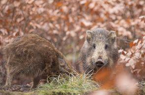 Sie sind sehr scheue und wachsame Tiere, die normalerweise vor den Menschen fliehen.