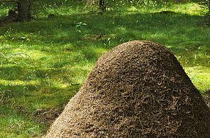 Ameisenhaufen
