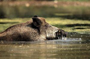 Wildschweine besitzen einen guten Geruchs- und Hörsinn, können schnell laufen und gut schwimmen. bevorzugen feuchte Laubwälder, in denen sie genügend Nahrung und Deckung finden.