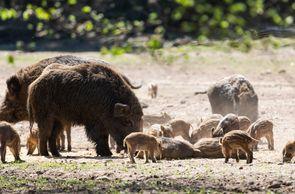 Wildschweine sind Allesfresser.